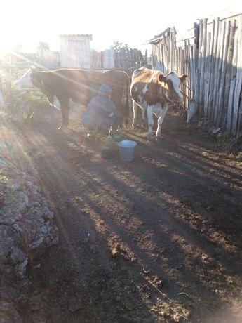 Продам корову с  полугодовалым теленком