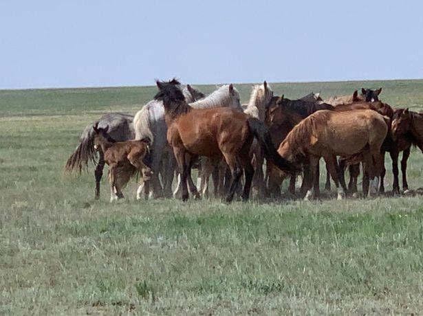Продам лошадей  жылқы