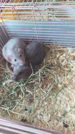Крысята Дабл Рекс