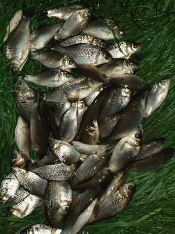 Caras viu pentru pescuit la răpitor