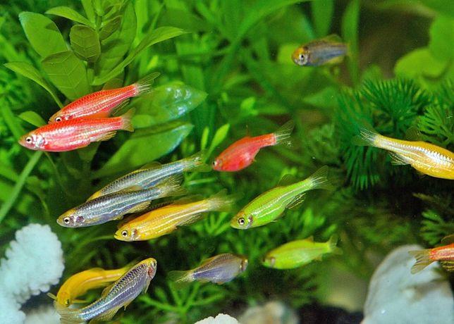 Рыбки данио глофиш. гуппи ассорти, барбус Суматра и красный,Тернеция