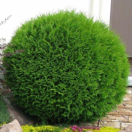 Tuia occidentalis globosa