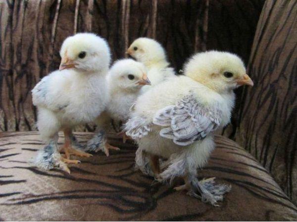 Брама цыплята