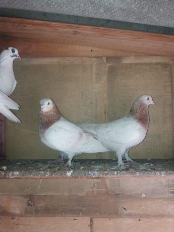 Продам голубей пароды Такла
