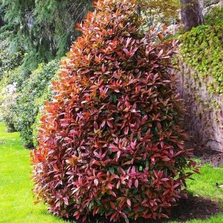 Фотиния-(Photinia Red Robin)