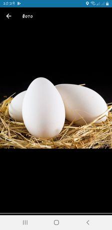 Продам яйцо гусинное инкубационное