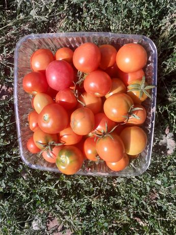 помидор сатамын үйдікі