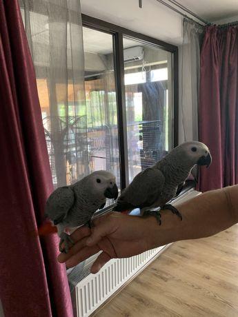 Papagal jako pui