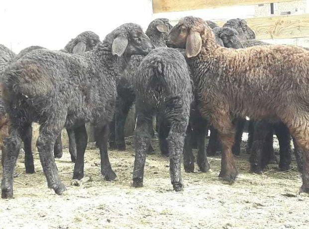 Продажа бараны ягнята овцы Чистокровнные племенные