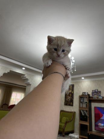 Шотланский котенок