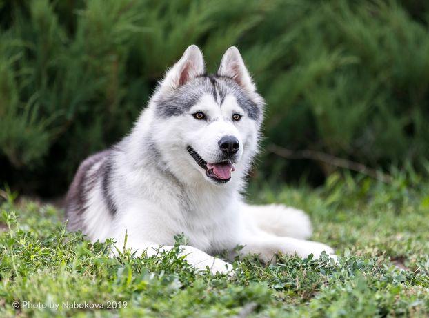 Высокопородный кобель Сибирский Хаски