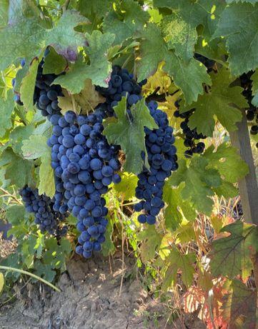 Struguri de vin-Calitate bună