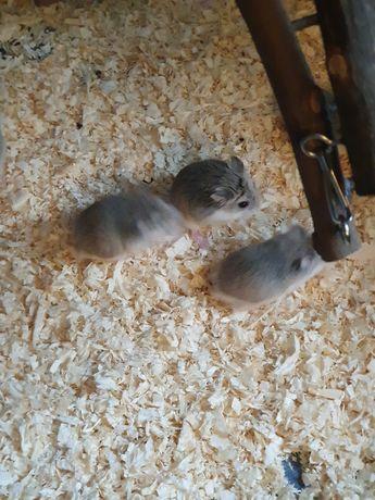 Vând pui de hamsteri roborovski