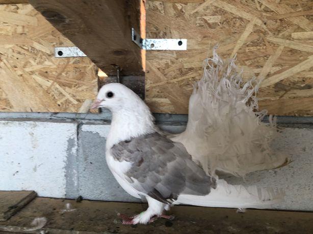 Porumbei voltati