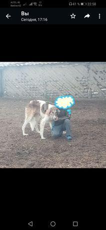 Продам хороший собака