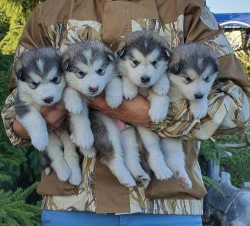 Продам элитных щенков Аляскинского маламута