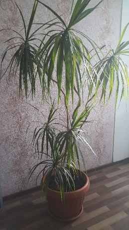 Качар - Рудный - Костанай Продам комнатное растение Драцена