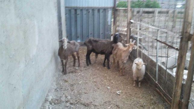 Продам овцы и бараны