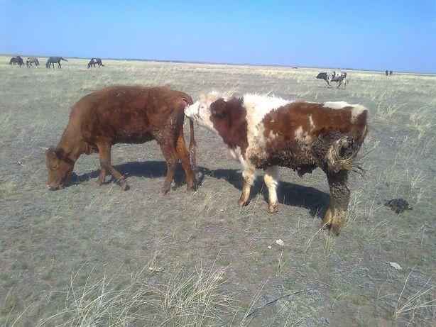 KPС скот корова бык