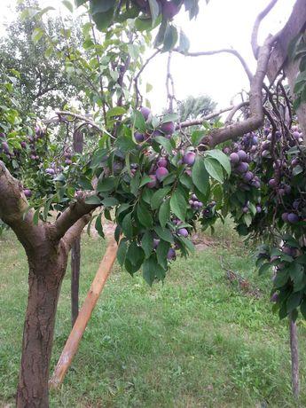 Prune, crescute ecologic