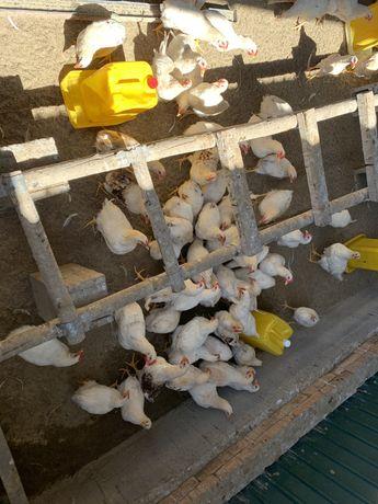 Цыплята балапан ломан браун домашние