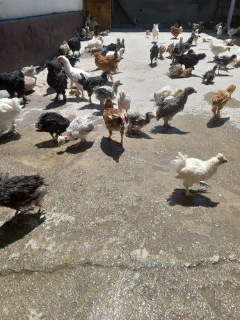Цыплята несушки полубрамы
