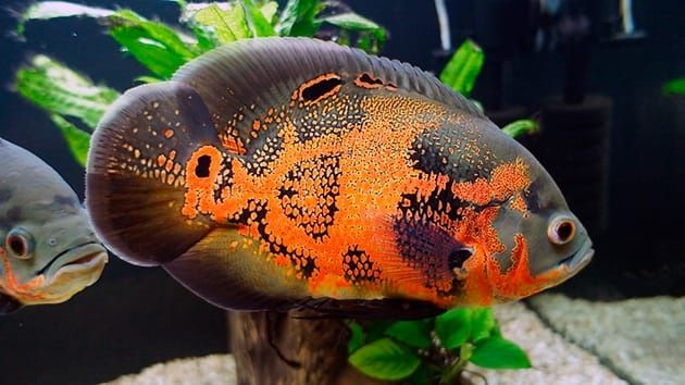 Аквариумная рыба Астронотус