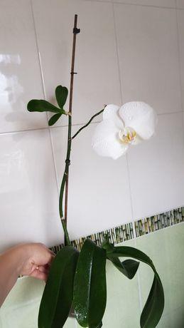 Орхидея белая с деткой
