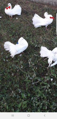 Porumbei albi nunti si evenimente