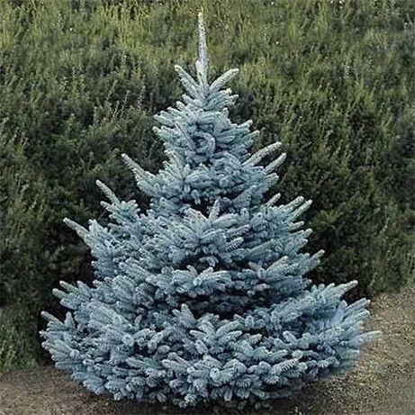 Сребрист Смърч-(Picea Pungens Glauca)