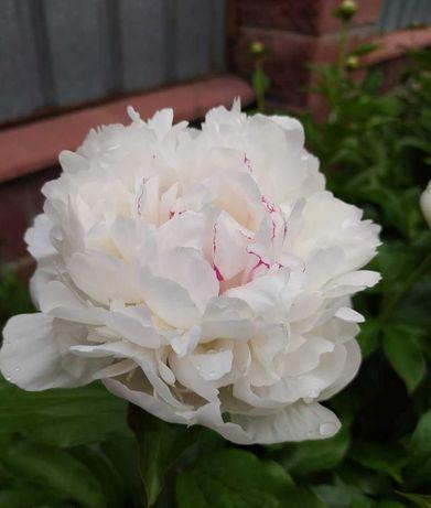 Белый и малиновый травянистый пион