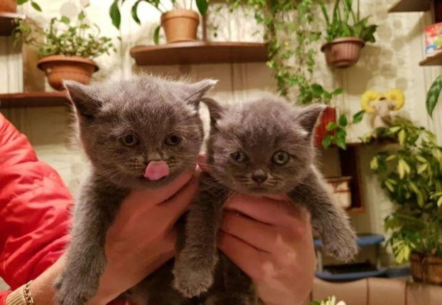 Британских котят продам по 5000 и по 10000