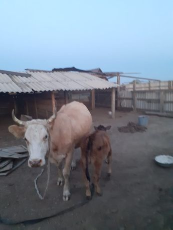 Продаю корову и телят. Сиыр бызауымен сатылады сиыр 3 туыт