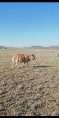 Продам корову с телятами 350000 т.