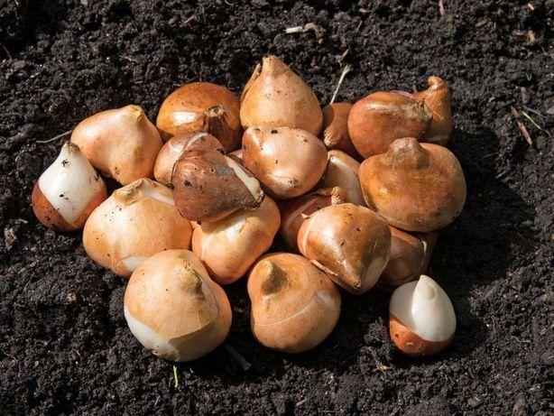 Луковицы тюльпан и гиацинтов с Голландии оптом