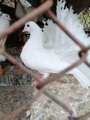 Porumbei rasa informații albi