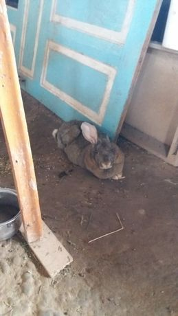 Продам кролика фландр
