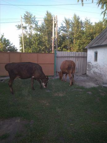 Продам Двух коров