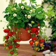 висящи,каскадни ягоди -целогодишни (разсад)