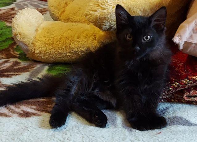 Чёрные породистые котята, остался 1 крупный, 3 мес (папа-гипоаллерген)