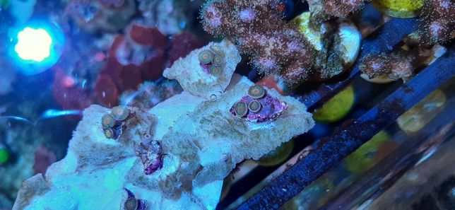 Zoas gorilla nipple coral acvariu marin