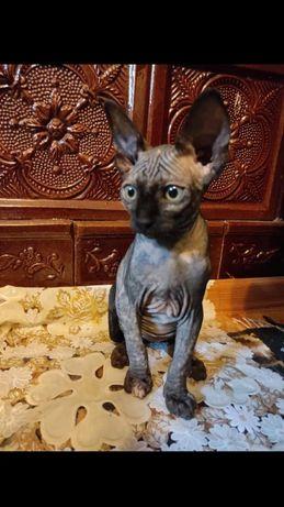 Pisica Sphynx Canadian