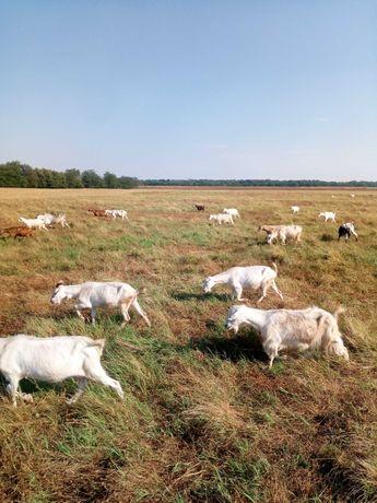 Vând 100 de capre