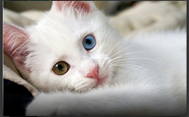 Продам кошку породы турецкая ангора красивая