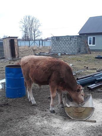Продам упитанного бычка