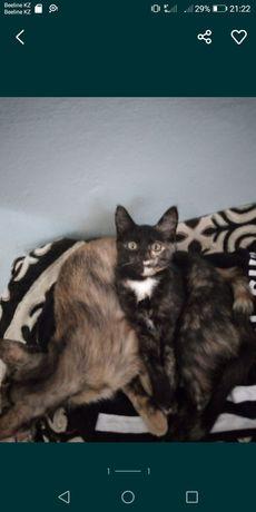 Котенок кыз 3.5 ай. Кара сары