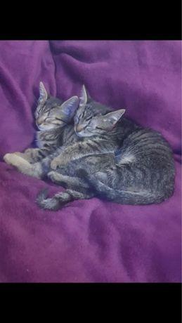 Donez 4 pisici jucause si iubitoare