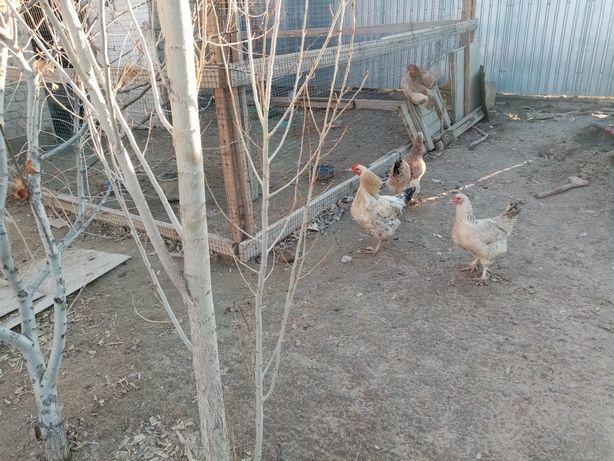 Продаётся 4 гуся, петух и 4 курицы