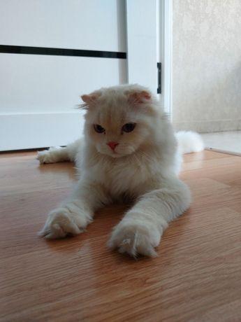 Котёнок Скотиш Фолд (Шотландец вислоухи)
