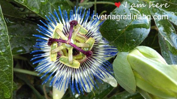Пасифлора - цвете на страстта